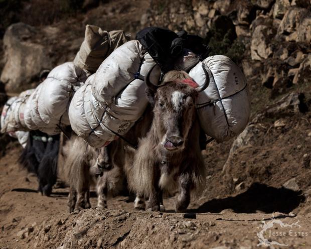 Yaks - Solu-Khumbu Nepal